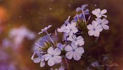 riant sous la pluie (Ifigeneia Vasileiadis) Tags: flowers goldenhour lilac warmtones sun sunlight haze flare raindrops nature closeup nikond7200 heliios