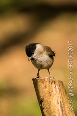 """Marsh tit / Poecile palustris (I'll catch up with you later, your comments and cr) Tags: barnwellcountrypark nikkor200500mmf56eafsed nikond610fx wildlifephotography rertug """"nikonflickraward"""""""