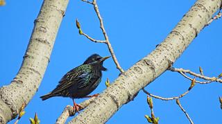 Etourneau sansonnet / European Starling / Sturnus vulgaris