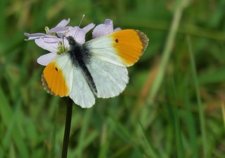 Orange tip/Oranjetipje (Finally, I saw my first orange tip butterflies. I travelled almost 200 km for it, but it was worth the trip!)