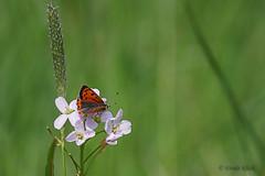Kleiner Feuerfalter (Lycaena phlaeas) (Oerliuschi) Tags: feuerfalter bläulinge tagfalter butterfly schmetterling nahaufnahme panasonicgh5 blüten wiesenschaumkraut