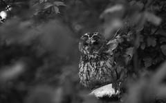 Imagine the green... (Coisroux) Tags: tawnyowl owl blackandwhite finesse ivy fungi softness feathers eyes beak hidden bokeh d5500 secretsummer nikond raptors birdsofprey facialdisk expression serene forests birdlife movement wisdom monochromia