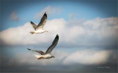 Surfeando las nubes (carmenvillar100) Tags: gaviotasdepicoamarillo nubes seagull gavines twins vuelo paus aves birds birdwatching observaciondeaves ibiza eivissa fujixt2 sunlight conillera conejera