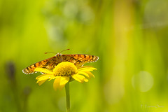 Melitaea deione (Ferruxe65) Tags: bolboretas canoneos7d cotobade macros ríolérez tamron150600 tenorio campos flash insectos macrofotografía mariposas nature naturaleza spring butterflies primavera meadow praderas ngc