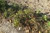Camins enverinats, Vilafranca del Penedès (esta_ahi) Tags: vilafrancadelpenedès herbicida veneno muerte camídesantpau penedès barcelona spain españa