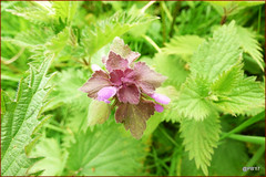 Red dead nettle. (postman.pete) Tags: wicked weasel hwcp brexit lumix macro may proxy spring tit votes macromondays 7dwf waterfall national fence selfie eye macromonday maitreya urbex face smile path farm leaf noiretblanc bicycle stairs catwa netherlands dusk hmm aircraft ford eyes pretty paysage fun fashion bike life shadows florida ice trail camera rose shop cold castle indoor panasonic cute boats evening festival railway hiking friends wickedweasel
