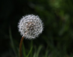 Clock (themadbirdlady) Tags: dandelion taraxacumofficinale seed airthreyns8096