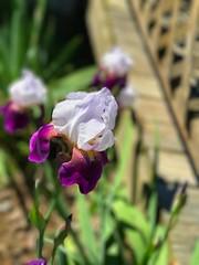 Love it! #beautiful #flower #mayflowers (joshleew2010) Tags: beautiful flower mayflowers