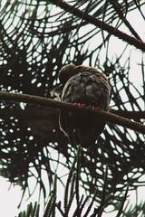 IMG_2832 (JennaF.) Tags: cuculi ave arbol ramas animal universidad antonio ruiz de montoya lima perú uarm nublado