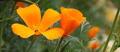 Californian Poppy (maf863) Tags: canon canon7dmk2 7dmk2 sigma poppy californianpoppy flower