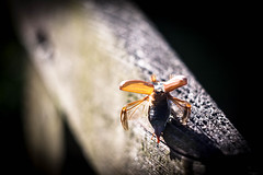 Takeoff (ursulamller900) Tags: helios442 maikäfer insekt insects melolontha mai may maybug takeoff abflug