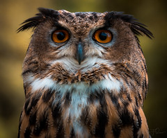 Portrait of timeless intent (Coisroux) Tags: birdofprey tawnyowl brows feathers eyes animaleye staring intense glaring d5500 nikond raptors birds birdlife portrait