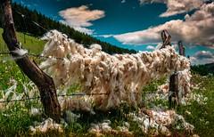 Blown with the wind (nerminsarajlic) Tags: landscape wool sheep mountain zlatibor