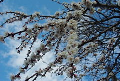 apricot blossoms (HyperLaceAlchemists) Tags: tree blossom flowers apricot