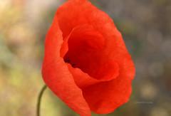 Gelincik (Celalettin Güneş) Tags: flowers red spring color nature macro beautiful green garden rose closeup gül kamelya gelincik bahar
