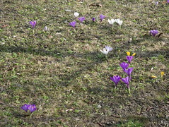IMGP2300 (Alvier) Tags: araschgen chur daheim frühling blumen krokus schneeglöggli osterglocken
