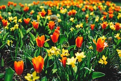for every end you get a beginning in return (lina zelonka) Tags: rüsselsheim rüsselsheimammain hessen linazelonka flowers blumen tulips tulpen spring frühling bokeh 35mm nikond7100 hesse germany deutschland europe europa rheinmain rheinmaingebiet park stadtpark