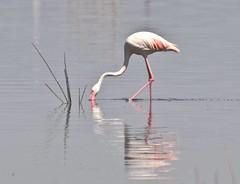 At Peace With the World (The Spirit of the World) Tags: flamingo bird fowl reflections nature wildlife africa lakenakuru lake waterscape eastafrica safari nationalpark gamereserve calm peaceful water kenya