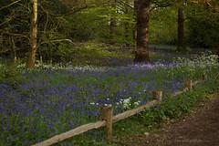 _B5A3558REWS In the Light, © Jon Perry, 26-4-17 zaz (Jon Perry - Enlightenshade) Tags: jonperry enlightenshade arranginglightcom 26417 20170426 bluebells flowers kewgardens kew woods lowsun sunlight purple