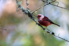 Chipe Rosado (Jorge De Silva R) Tags: pink headed warbler cardellina versicolor aves de chiapas birds nature