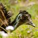emu - humphrey (2 of 2)