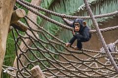 Schimpanse Zoo Leipzig (fornika182) Tags: pan monkey ape schimpanse animals leipzig tiere zoo zooleipzig a6000 sony sonyalpha6000