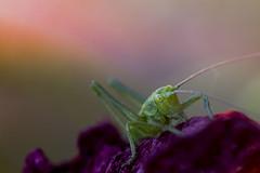Bébé sauterelle verte (Doriane Boilly Photographie Nature) Tags: macro insecte bébé sauterelle verte nature prairie printemps