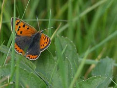 Small Copper (ukstormchaser (A.k.a The Bug Whisperer)) Tags: small copper uk butterfly butterflies animal animals wildlife milton keynes meadow field grass basking insect insects macro