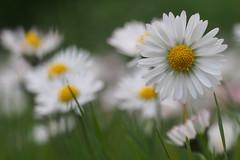 Happiness (nikjanssen) Tags: daisy madeliefje dof softness vintagelenses helios442 spring pure zen