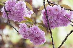Flowers. Bloemen. 000. Cherry Blossom. (George Ino) Tags: thenetherlandshollandnederland utrecht flower bloem blüteblossomrosaceaecherryblossomhanamisakura pink roze depthoffield dofbokeh prunusserrulatahizakura prunusserrulatasekiyama prunusserrulatasekizan ngc फूल phool bloom blossom efflorescence