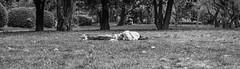 Dormendo (david.tomasi) Tags: sleeping park parco dormire dormendo dorme schläft schlafen südtirol bozen bolzano south tyrol soutthyrol altoadige sudtirolo talvera prati talfer sw bw monochrome monochrom bianco nero schwarz weiss weis black white