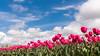 DSC_3007 (Omar Rodriguez Suarez) Tags: bloemenstreek tulips bulbs tulipanes bulbos flowers flores