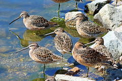 Long-billed Dowitchers 17-0507-4857 (digitalmarbles) Tags: longbilleddowitcher longbilled dowitcher dowitchers shorebird shorebirds limnodromusscolopaceus sandpiper sandpipers bind contradiction fling hill timestep water shore pond reflection reflecting ripples weeds smallaperture nature wildlife animal bird birds birder birdphoto photography birdphotography wildlifephotography reifel sanctuary reifelsanctuary deltabc bc lowermainland britishcolumbia canada canoneosrebelt5 canon