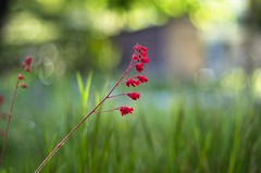red (ΞSSΞ®®Ξ) Tags: ξssξ®®ξ pentax k5 colors bokeh smcpentaxm50mmf17 italy spring 2017 plant outdoor afternoon depthoffield blossom red green light fabriano appennini nature flowers meadow focus grass marche