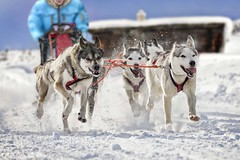 Sled dogs pulling musher (mezzotint_de) Tags: dog sled race husky snow winter sledge team dogs active frontal view mammals sport sports dogsled speed nature outdoors musher racing animals pets sprint trail running sledding beautiful fast pace guide blockhouse cabin travel adventure transportation action