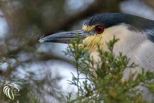 Black-crowned Night Heron   2017 - 4
