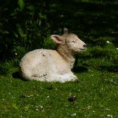 Lamb, Mary Arden's Farm, Wilmcote (Dave_A_2007) Tags: animal mammal nature sheep wildlife wilmcote warwickshire england