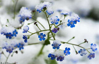 Winter: Forget me? Not!
