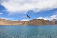 Brown-headed gulls (Raveesh Vyas) Tags: birds water ladakh pangong mountain himalayas outdoor leh brownheadedgull gull brown birdsplaying