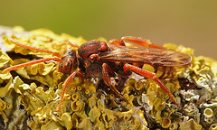 Nomada species, female (henk.wallays) Tags: