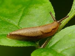 Roundback Slug (treegrow) Tags: washingtondc rockcreekpark lifeonearth nature canonpowershotsx40hs raynoxdcr250 arion taxonomy:genus=arion arionidae gastropoda mollusca mollusk