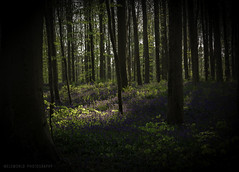 spring time (melsworldbe) Tags: forest tree tress flower flowers color blue bluebell hyacinth green grass spring