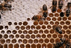 Honey factory (flowergirlaaa (busy bee, catching up)) Tags: engineering pattern hexagon geometry honeybee honey cell honeycomb beeswax white hive