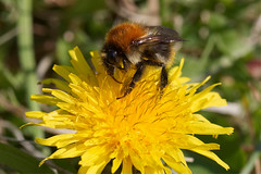 Busy (12511) (jonathanclark) Tags: spring sun kinnegar belfast belfastharbourestate urban industrial northernireland insect invertibrate bee bumble dandelion flower nature natural wild wildlife busy macro