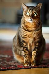 Batik (kunyiliu) Tags: 135mmf2l batik canon7d cat bengal