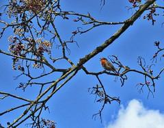 Singing for Joy (Feathering the Nest) Tags: robin wingwednesday bird garden tree canadian maple crimsonking herefordshire