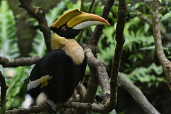 Great Hornbill (scv1_2001) Tags: nikon nikon70200mmvrii nikond750 taipeizoo bird animal 台北市立動物園