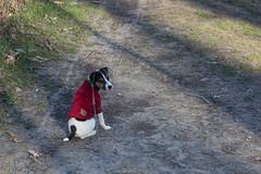 The Glance Backwards... (marylea) Tags: apr1 2017 hudsonmillsmetropark hudsonmills washtenawcounty walk parsonrussell parsonrussellterrier terrier jackrussellterrier jackrussell dog puppy 12weeksold dooley park redjacket