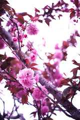 Blossoms on White (louie imaging) Tags: cherry blossoms blossom expression bokeh mood uncensored impression impressionistic abstract forelorn decisive moment nonsensical nothingness optical glass nikon sony canon mitakon rollei leica 50mm f12 f095 f14 zeiss dream lens otus