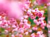 花之都公園 (紅襪熊(・ᴥ・)) Tags: olympus omd em1 m43 micro43 microfourthirds olympusem1 sigma 150mm macro bokeh sigma150mmmacro apo f28 sigmaapomacro150mmf28 sigmamacro150mmf28 150mmf28 sigma150mmf28 sakura 櫻 櫻花 cherryblossoms pink flower flowers blossom blossoms castle cherry cherryblossom cherryblossomfestival cherrytree cherrytrees garden light nature park plant sky spring travel tree trees white さくら サクラ 春 桜 花 花見 賞櫻 日本 japan 粉 粉紅 八重櫻 花之都公園